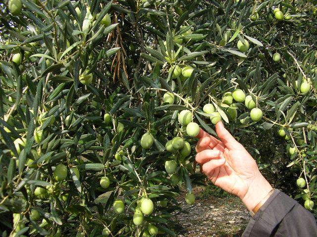 oliva ascolana tenera del piceno DOP