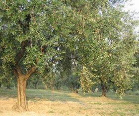 Olive ascolane: origini e preparazione